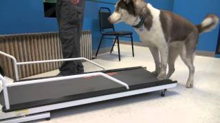 Download How to Train a Dog To Walk or Run On A Treadmill | Tyler Muto Dogmanship Video