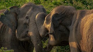 Download Elephant Mother has Calf Stolen by another Female | BBC Earth Video