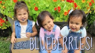 Download FIRST TIME BLUEBERRY PICKING!!! - July 15, 2016 - ItsJudysLife Vlogs Video