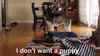 Download Mishka DOES NOT want a Puppy!!! Video