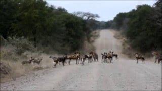 Download Hyenas vs Wilddogs, Gonarezhou/Malilangwe, Zimbabwe Video