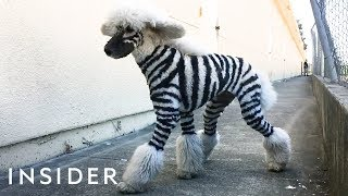 Download Salon Grooms Pets To Look Like Wild Animals Video