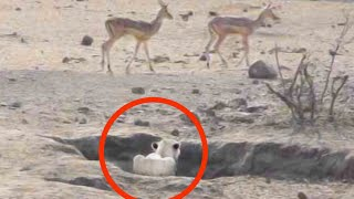 Download Worst Lion Hunt Fail Ever! Video