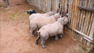 Download Baby Rhinos Cry When Their Milk Runs Out! Video