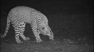 Download Djuma: Leopard-Tlalamba female - 03:56 - 11/13/19 Video