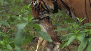Download Tiger hunts Baby Deer | BBC Earth Video