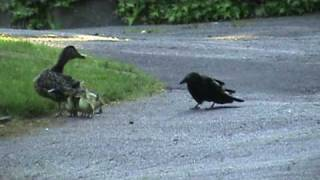 Download Mama Duck Fights Crows Attacking Baby Ducklings Video