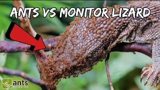 Download I Gave My Fire Ants a Monitor Lizard Video
