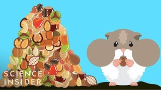 Download How Hamsters Can Stuff So Much Food In Their Cheeks Video