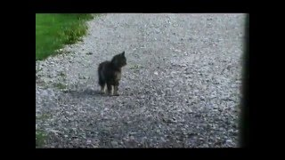 Download Cat waits for school bus Video