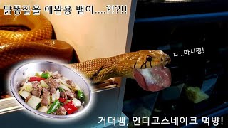 Download 닭똥집을 뱀들이....?! 쿰척쿰척 파충류 식사시간 Video