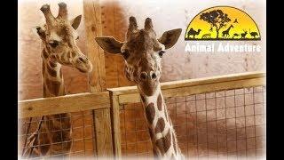 Download April the Giraffe Cam - Animal Adventure Park Video