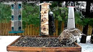 Download Rainy Day Ruffed Grouse – Nov. 15, 2017 Video