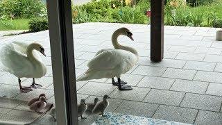 Download Друг лебедь привел лебедят Video