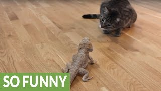 Download Curious cat meets friendly bearded dragon Video
