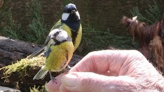 Download A Bird In The Hand - Hand feeding garden birds. Video