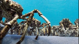 Download Army Of Spider Crabs Shed Their Shells - Blue Planet II Video