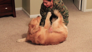 Download Adorable Golden Retriever Welcomes Marine Home Video