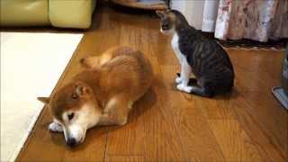 Download 柴犬にそっと毛づくろいをする猫 Video