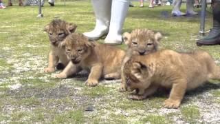 Download 赤ちゃんライオンお披露目 日立・かみね動物園 Video