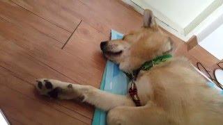 Download 호랑이 소리를 들은 진돗개의 반응 1-볼트편 Tiger Sound Dog Reaction 1-Bolt.Funny Dog Videos 재미있는 강아지 동영상 Video