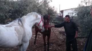 Download صلاة النبي الحصان الطهور نور لهيب وابنته غزل (بتصوير sami abufarha) Video