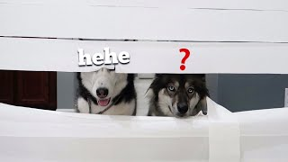 Download Huskies vs Wall of Toilet Paper! Video