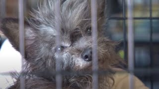 Download More Than 100 Animals Rescued from Arkansas Puppy Mill Video