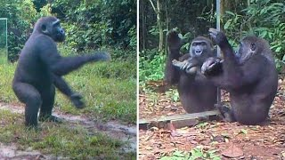 Download A Young Gorilla's Reactions to his Reflections in Mirrors In Gabonese Jungle : a Dancer? a Drummer? Video