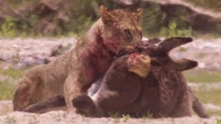 Download Young Lions kill Donkeys | BBC Earth Video