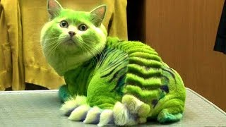 Download 10 MOST DANGEROUS CAT BREEDS IN THE WORLD Video