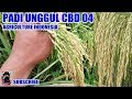 Download PADI CBD04 SUPER ! BULIR CAPAI 600-700 Video