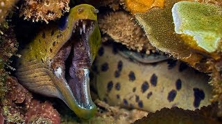 Download Moray Eel VS A Shark And An Octopus Video