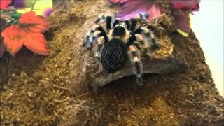 Download How to Remove a Tarantula from its Enclosure Video