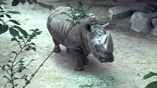 Download 王子動物園 サイ Video