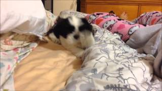 Download Po The Shih Tzu Ep.3 - Nap Time With Mommy Video