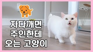 Download 자다 깨면 주인한테 오는 고양이 🐕 개냥이 꼬부기 Video