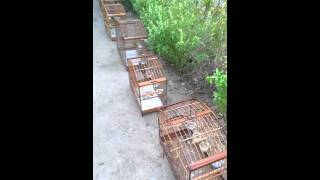 Download Vendo ou troco meus pássaros Video