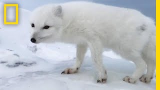 Download A Friendly Arctic Fox Greets Explorers | National Geographic Video
