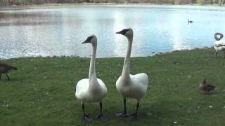Download Mute & Trumpeter Swan Feeding & Honking ~ Comical Characters ~ You Bit My Finger! Video