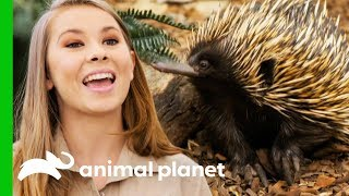 Download Bindi Releases Little Grub The Echidna Back Into The Wild! | Crikey! It's The Irwins Video