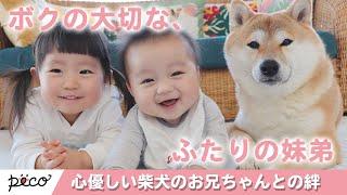 Download ぼくたち仲良し兄弟!心優しい柴犬のお兄ちゃんとの絆🐶【PECO TV】 Video