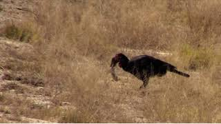 Download Southern Ground Hornbills hunting Scrub Hare babies 11:08 08/15/18 Video