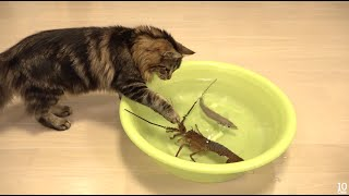 Download Japanese spiny lobster vs Cat 猫vs伊勢海老 Video