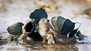 Download Mudskippers: The Fish That Walk on Land | Life | BBC Earth Video