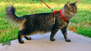 Download 4 Tips To Get Your Cat to Go on a Walk With You Video