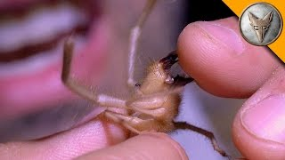 Download Ahhh!!! Camel Spider Chews My Finger! Video