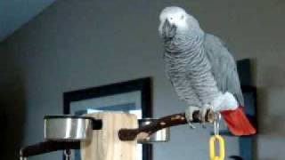 Download Larry the parrot dials an imaginary phone number, rambles a little, then starts laughing. Video