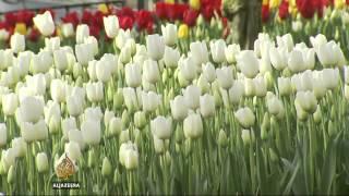 Download Tulip festival creates jobs in Turkey Video