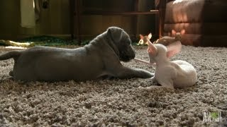 Download Kitty vs. Pit Bull   Too Cute! Video
